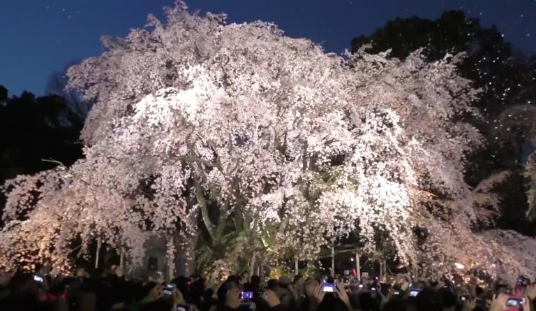 六義園しだれ桜3